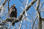 Brazoria County, Damon, Texas; a juvenile bald eagle sitting on a branch near it's nest at the top of a large tree on the edge of the pasture in early morning sunlight, it had not yet fledged