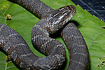 Water snake immature