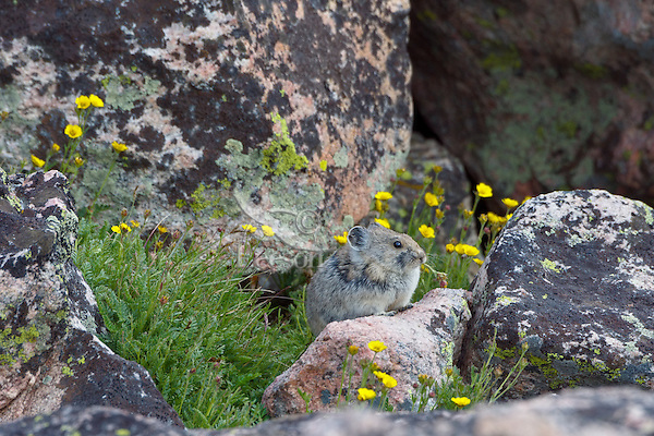 American pika (Ochotona princeps) eating a cinquefoil flower.  Beartooth Mountains, Wyoming/Montana border.  Summer.  This photo was taken in alpine setting at around 11,000 feet (3350 meters) elevation.