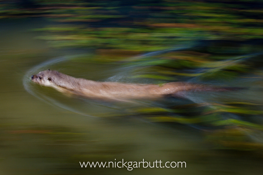 Male Eurasian Otter (Dog Otter) (Lutra lutra) swimming in river margins. England. (Controlled Conditions)