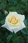 LEMON SPICE ROSE, ROSA HYBRID TEA