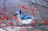 01288-05602 Blue Jay (Cyanocitta cristata) in Winterberry Bush (Ilex verticillata) in winter Marion Co.  IL