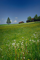 Dandylions and spring flowers in a meadow against  blue sky farm buildings and solitary tree. Close to Forggense lake, Schwangau, Bavaria, Germany.