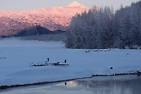Bald Eagles gather along the Alaska Chilkat Bald Eagle Preserve near Haines, Alaska.  November.