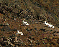 4 Dall sheep resting.