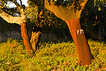 Cork tree grove in Southern Portugal