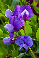 Beach Pea or Sea Pea(Lathyrus japonicus) is a herbaceous perennial plant typically growing on sand and gravel storm beaches.  The seeds have the ability to remain viable while floating in sea water for up to 5 years, enabling the seeds to drift nearly worldwide. Germination occurs when the hard outer seed coat is abraded by waves on sand and gravel.