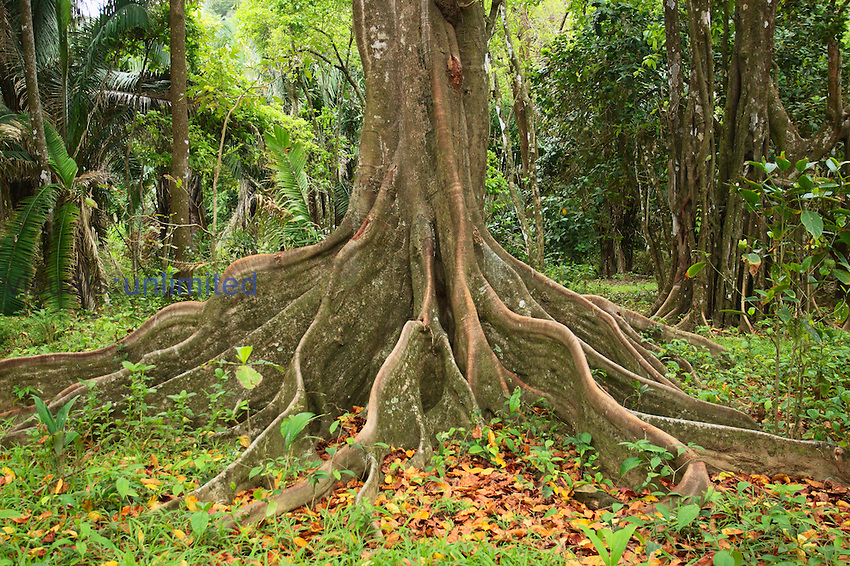Buttress roots of the Silk Cotton Tree ,Ceiba pentandra, which can grow to over 60 meters high.