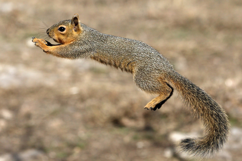The Fox Squirrel (Sciurus niger) is the largest species of tree squirrel native to North America. Shot during a period of drought.