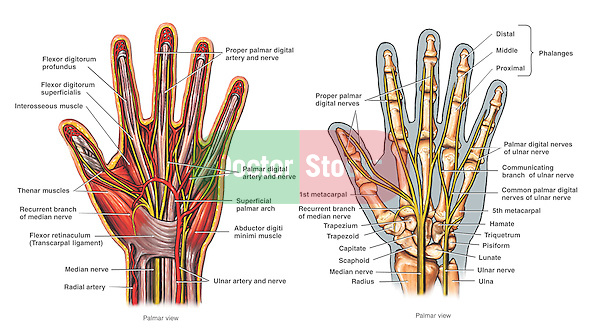Accurately depicts the anatomy of the hand.  Labeled muscles:  flexor digitorum longus and superficialis, interosseous, flexor retinaculum (transcarpal ligament) and abductor digiti minimi. Labeled arteries: proper plamar digital, radial, palmar digital, superficial palmar arch and ulnar. Labeled nerves:  median, recurrent branch of median, ulnar and palmar digital. Labeled bones: radius, ulna, scaphoid, capitate, hamate, lunate, triquetrum, trapezium, pisiform, metacarpals, carpals, and phalanges.