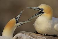 Gannets (Morus bassanus) fighting, Saltee Islands, Ireland