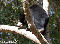 0327-1005  Sun Bear Climbing Tree, Helarctos malayanus  © David Kuhn/Dwight Kuhn Photography.