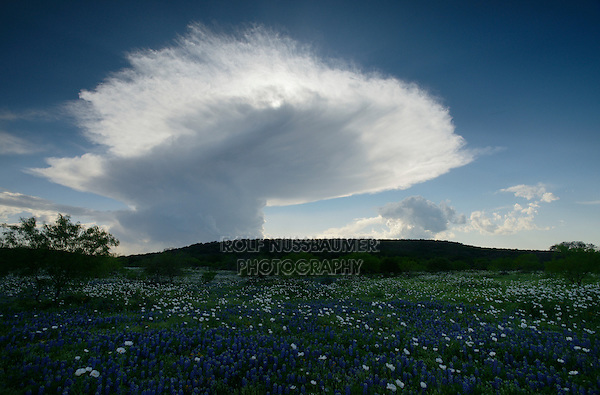 Texas Bluebonnet (Lupinus texensis), wildflower field with storm approaching, Llano, Central Texas, USA