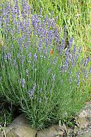Echter Lavendel im Kräuterbeet, Lavandula angustifolia, Lavender