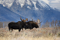 Moose Bulls, Grand Teton National Park