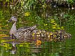 2018 Duck babies