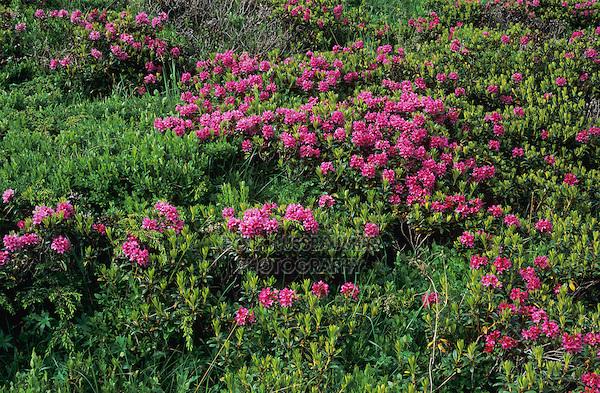 Hairy Alpine Rose, Rhododendron hirsutum, blooming, Ritom, Tessin, Switzerland