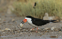 Black Skimmer (Rynchops niger), adult carrying broken egg from nest, Port Isabel, Laguna Madre, South Padre Island, Texas, USA