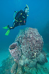 Gardens of the Queen, Cuba; a scuba diver swimming above two very large barrel sponges growing out of the sandy sea floor