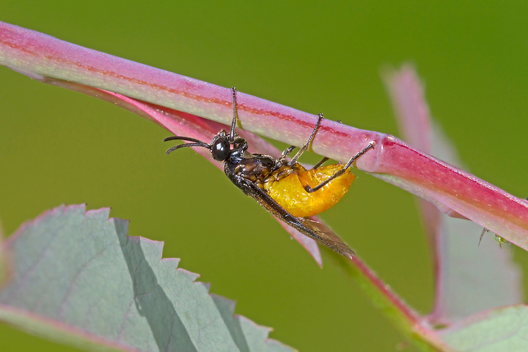 Large Rose Sawfly - Arge pagana - female laying eggs in rose stem