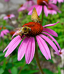 A bumblebee and a native butterfly gather nectar from this coneflower planted along the outdoors walking trail. The Sophia M. Sachs Butterfly House, located in Faust Park in Chesterfield, turns 20 this year. They are hoping to double the size of their entomology lab where numerous species of butterflies and other insects are raised. <br /> Photo by Tim Vizer