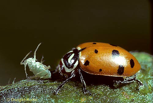1C10-006x  Convergent Ladybug eating insect, Hippodamia convergens