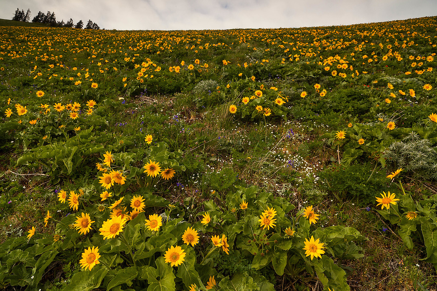 Balsamroot flowers in peak bloom on a Washington hillside along the Dog Mountain trail.