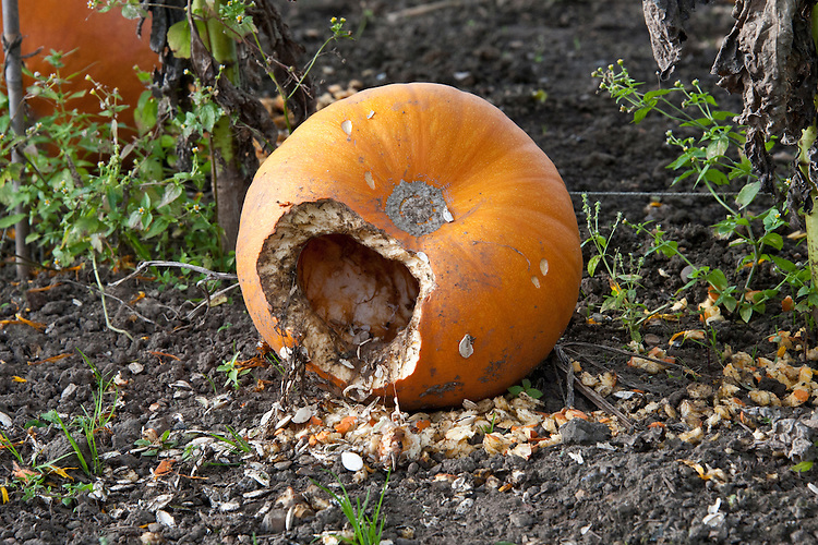 A 'Jack o'Lantern' pumpkin eaten by squirrels, mice, or rats.
