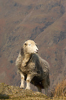 Herdwick ewes, Landdale, Cumbria.
