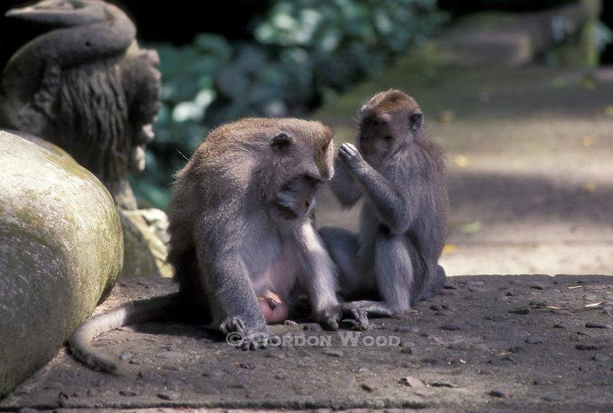 Monkeys Preening in Monkey Forest, Ubud, Bali