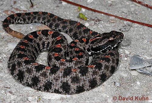 0710-0806  Dusky Pygmy Rattlesnake, Sistrurus miliarius barbouri © David Kuhn/Dwight Kuhn Photography