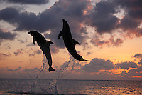 qk2132-D. Bottlenose Dolphins (Tursiops truncatus). Honduras, Caribbean Sea..Photo Copyright © Brandon Cole. All rights reserved worldwide.  www.brandoncole.com..This photo is NOT free. It is NOT in the public domain. This photo is a Copyrighted Work, registered with the US Copyright Office. .Rights to reproduction of photograph granted only upon payment in full of agreed upon licensing fee. Any use of this photo prior to such payment is an infringement of copyright and punishable by fines up to  $150,000 USD...Brandon Cole.MARINE PHOTOGRAPHY.http://www.brandoncole.com.email: brandoncole@msn.com.4917 N. Boeing Rd..Spokane Valley, WA  99206  USA.tel: 509-535-3489