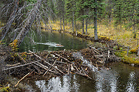 North American Beaver (Castor canadensis) transporting branches (for winter food) back to lodge area.  British Columbia, Canada.  Fall.  In late summer/fall beavers cut down many bushes and trees and haul them back to their lodge area to store for winter food--once the pond freezes.  This beaver colony had at least four dams on this small stream.  The ponds behind the dams make it easier for the beaver to haul branches/trees (food) back to their lodge area.