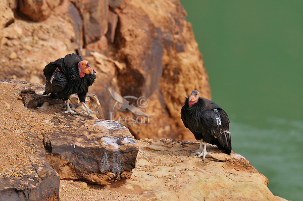 California Condors (Gymnogyps californianus), Grand Canyon National Park, Arizona.