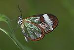 Greta Oto, Clearwing, Glasswing Butterfly, resting on leaf, Ecuador, Jungle,