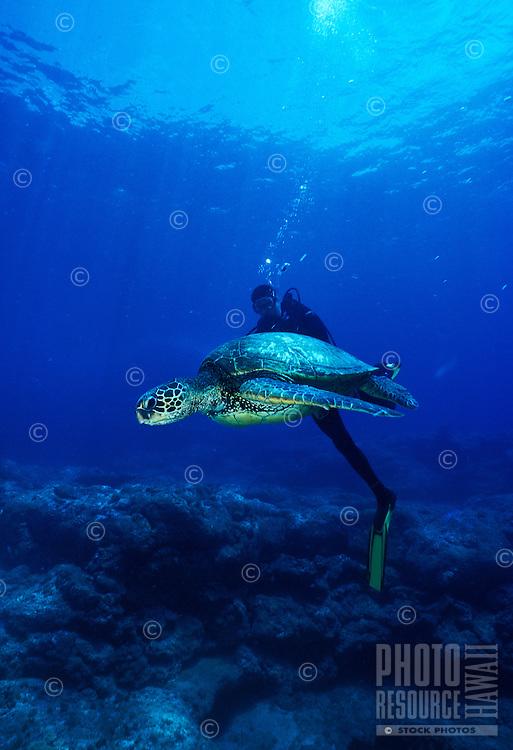 Scuba divers swim along side a green sea turtle in Hawaii's pristine waters