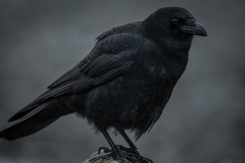 Northwestern Crow. Homer, Alaska. Photo by James R. Evans.