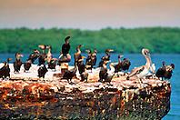 Florida cormorants, Phalacrocorax auritus .floridanus, and juvenile brown pelican, .Pelecanus occidentalis, John Pennekamp .Coral Reef State Park, Key Largo, Florida.