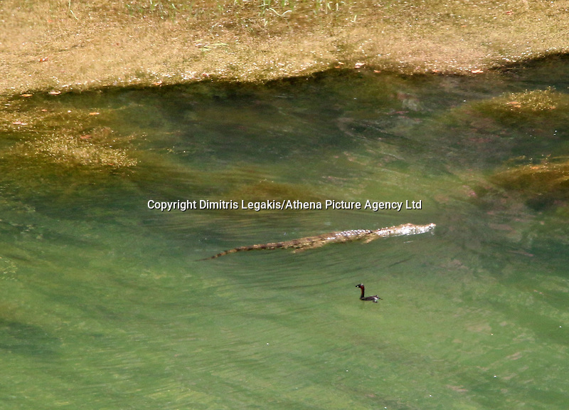 """Rethymnon, Greece. Friday 11 July 2014<br /> Pictured: The crocodile at the man-made Potamon lake and dam near the town of Rethymnon in Crete, Greece. <br /> Re: A Greek reptile expert on Friday began an operation to trap a two-metre long crocodile that mysteriously appeared in a man-made lake and dam on the tourist island of Crete last weekend.<br /> """"We are placing our hopes on the crocodile's hunger,"""" herpetologist Petros Liberakis, who works at the island's natural history museum, told Skai TV.<br /> """"The operation could take two days, or a couple of weeks, or it could fail altogether,"""" he said.<br /> Cages laden with meat will be placed near the artificial dam, some 15 kilometres (9.3 miles) from the city of Rethymno.<br /> Crews had previously fenced off a one-kilometre stretch of coast around the lake to keep curious visitors away."""