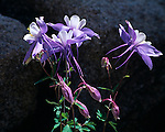 Colorado Blue Columbine, Rocky Mountains, Colorado