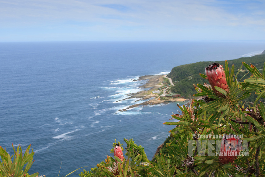 Protea flowers in the foreground with the Tsitsikamma camp in the background.