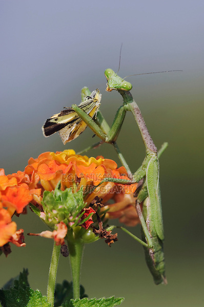 Praying Mantis, Mantidae, adult eating on butterfly prey perched on Texas Lantana (Lantana urticoides), Willacy County, Rio Grande Valley, Texas, USA