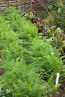 Carrots Bolero and beets growing in garden