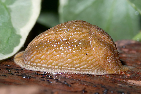 Slug, Dusky Arion, Arion subfuscus, Retracted And Hunkered Down