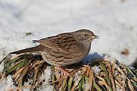 Heckenbraunelle, im Winter bei Schnee, Hecken-Braunelle, Prunella modularis, dunnock
