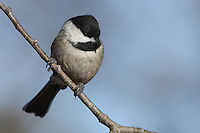 The Black-capped Chickadee (Poecile atricapillus) is a small, North American songbird, a passerine bird in the tit family Paridae.
