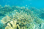 Gardens of the Queen, Cuba; massive colonies of elkhorn coral growing in the shallow water