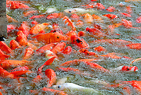 Koi fish in feeding frenzy. RIGHTS MANAGED LICENSE AVAILABLE FROM www.gettyimages.com - contact Sheldon for details