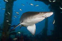 TP0340-D. Sand Tiger Shark (Carcharias taurus) swimming inside the shipwreck of the Aeolus. Fearsome appearance but not aggressive, posing no threat to divers unless provoked; can hover in midwater by using stomach as a buoyancy compensator after they have gulped air at surface; feeds on bony fishes, sharks and rays, crustaceans, and squid; some migrate to warmer waters in fall and winter and cooler climates in spring and summer. North Carolina, USA, Atlantic Ocean.<br /> Photo Copyright &copy; Brandon Cole. All rights reserved worldwide.  www.brandoncole.com