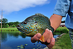 HANDHELD BLUEGILL PAN FISH
